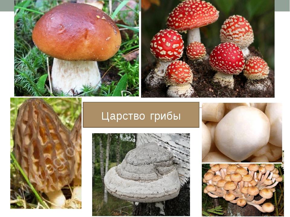 Царство грибы