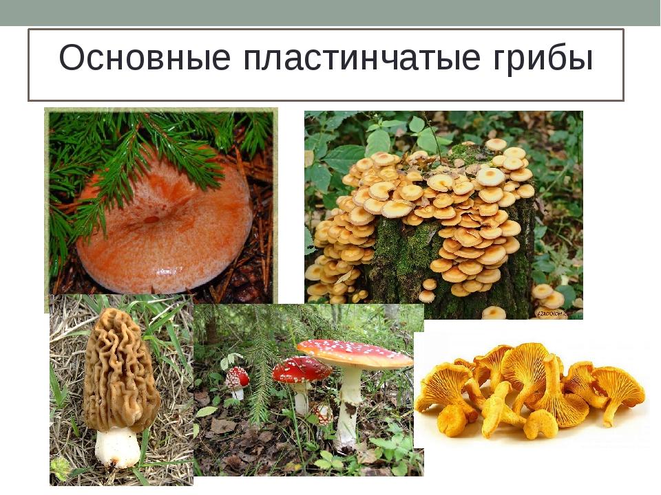 Основные пластинчатые грибы