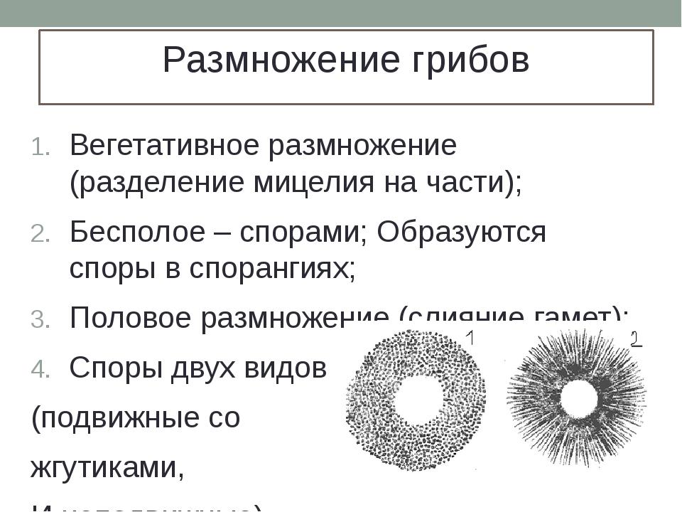 Размножение грибов Вегетативное размножение (разделение мицелия на части); Бе...
