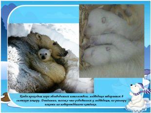 Когда приходит пора обзаводиться потомством, медведица забирается в снежную п