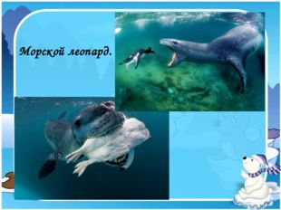 Морской леопард.