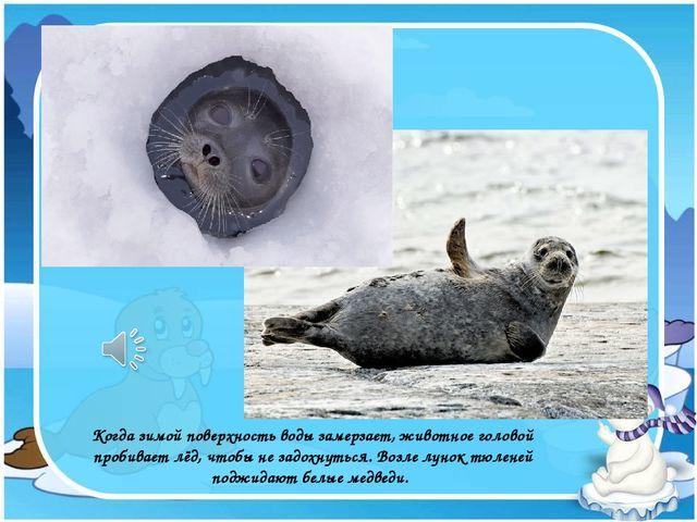 Когда зимой поверхность воды замерзает, животное головой пробивает лёд, чтобы...