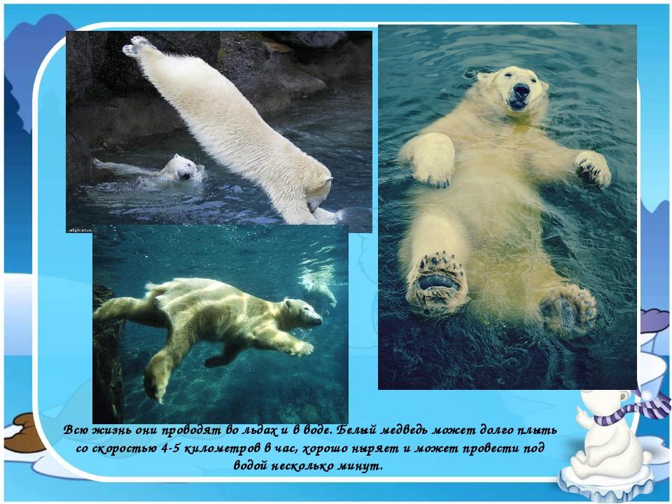 Всю жизнь они проводят во льдах и в воде. Белый медведь может долго плыть со...