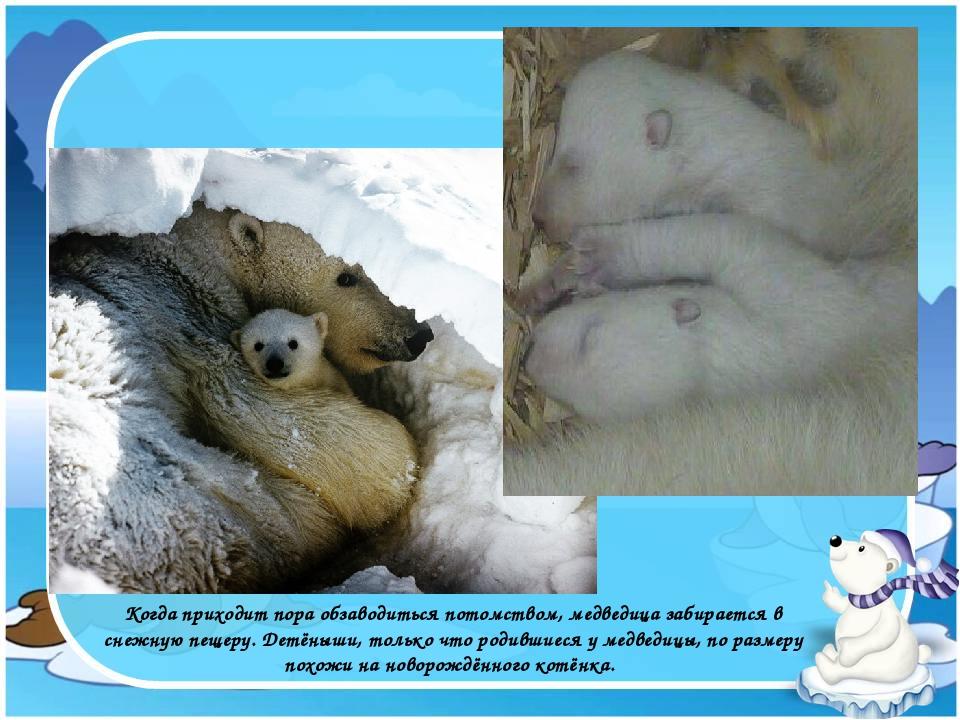 Когда приходит пора обзаводиться потомством, медведица забирается в снежную п...
