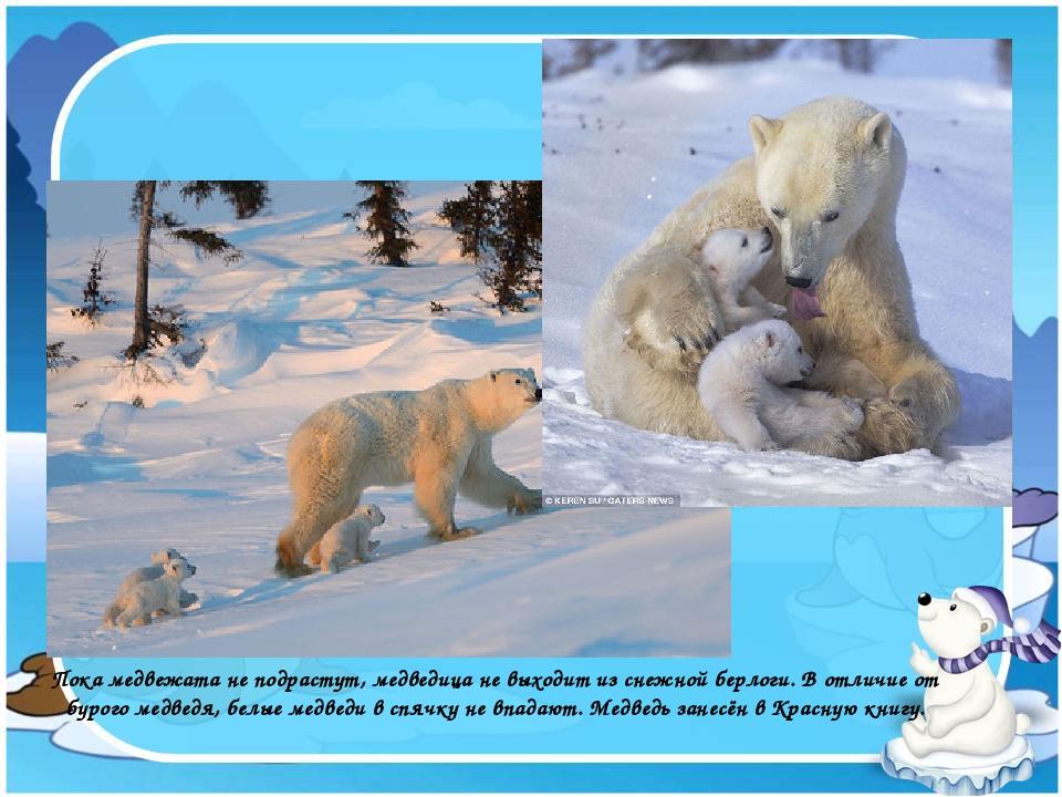 Пока медвежата не подрастут, медведица не выходит из снежной берлоги. В отлич...