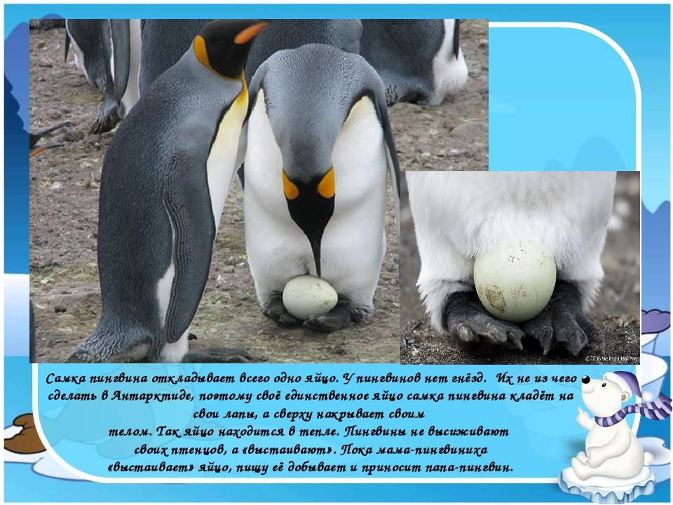 Самка пингвина откладывает всего одно яйцо. У пингвинов нет гнёзд. Их не из ч...