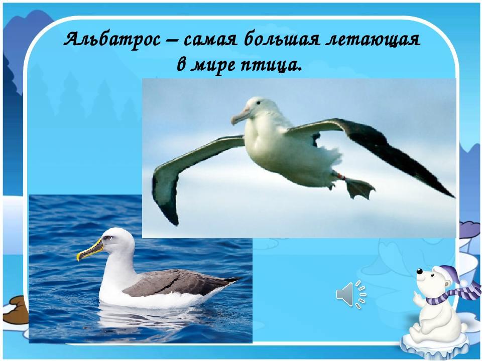 Альбатрос – самая большая летающая в мире птица.