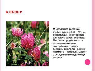 КЛЕВЕР Многолетнее растение, стебли длинной 20 – 40 см., восходящие, неветвис