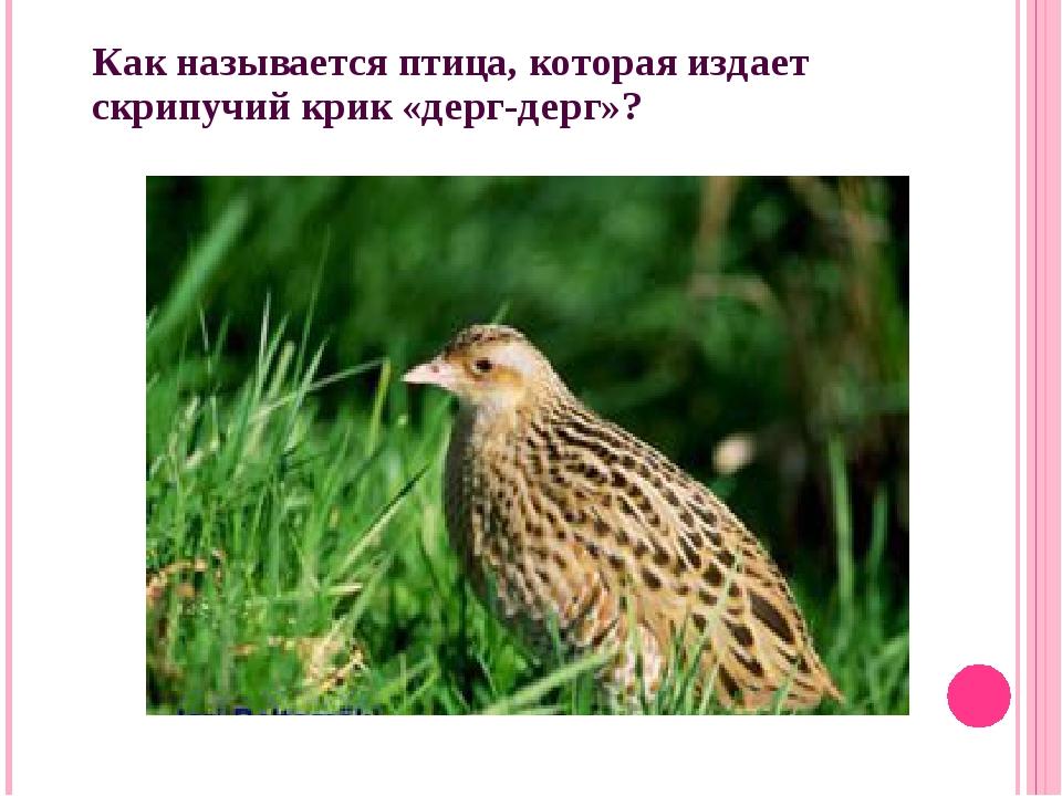 Как называется птица, которая издает скрипучий крик «дерг-дерг»?