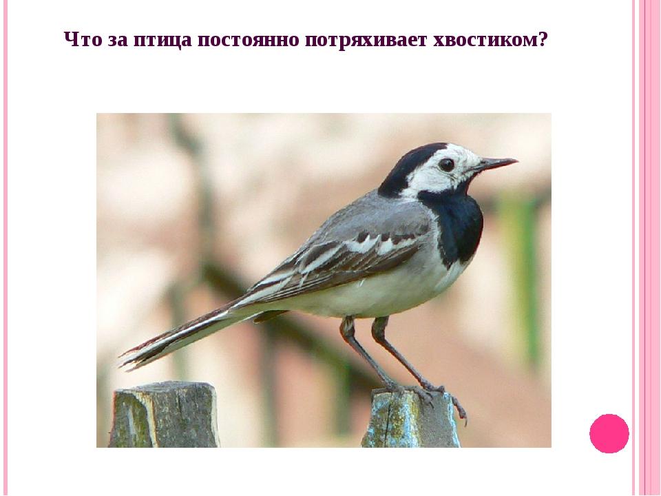 Что за птица постоянно потряхивает хвостиком?