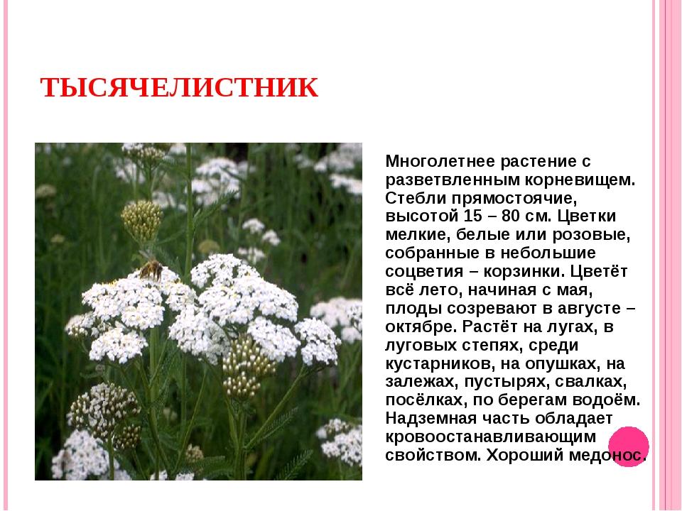 ТЫСЯЧЕЛИСТНИК Многолетнее растение с разветвленным корневищем. Стебли прямост...