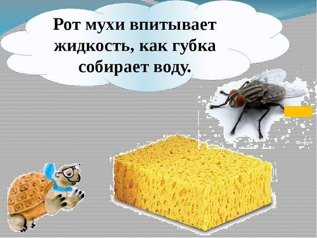 Рот мухи впитывает жидкость, как губка собирает воду.