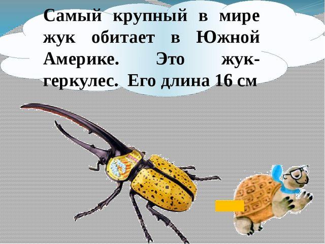 Самый крупный в мире жук обитает в Южной Америке. Это жук-геркулес. Его длина...
