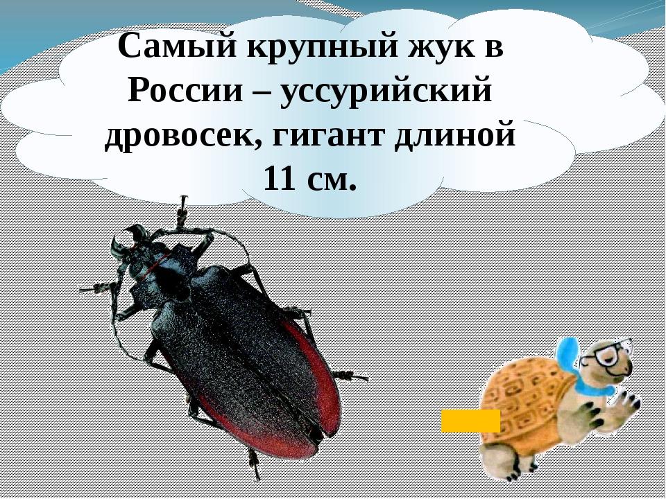Самый крупный жук в России – уссурийский дровосек, гигант длиной 11 см.