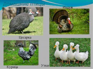 Домашние птицы Цесарка Индюк Утки Курица
