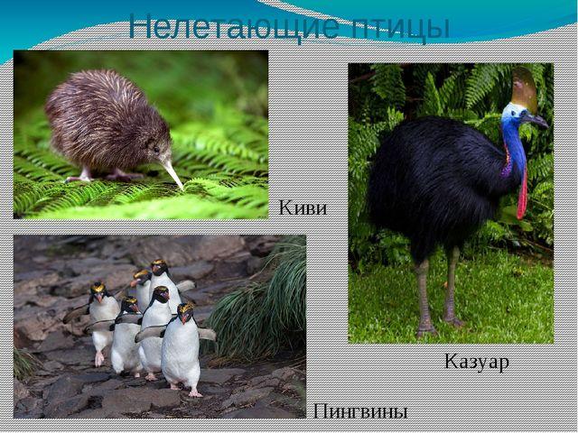 Нелетающие птицы Киви Казуар Пингвины