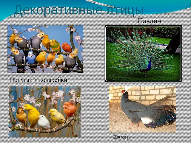Декоративные птицы Попугаи и конарейки Павлин Фазан