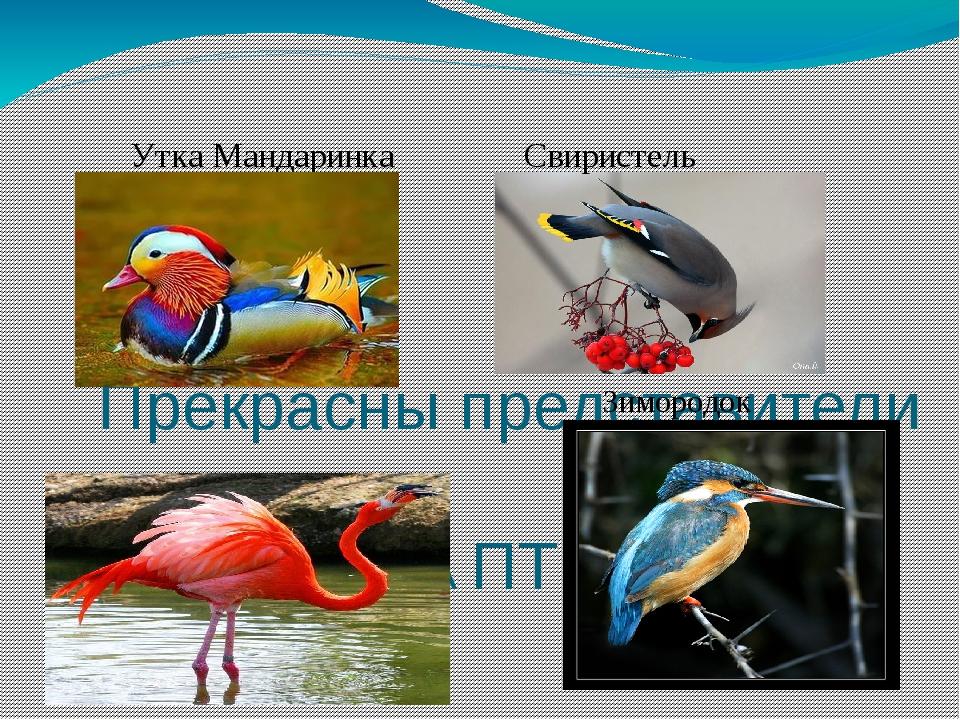 Утка Мандаринка Свиристель Розовый фламинго Прекрасны представители КЛАССА П...