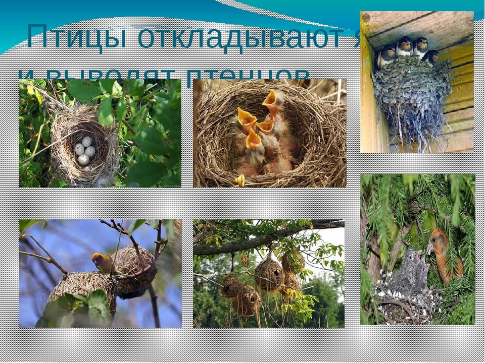 Птицы откладывают яйца и выводят птенцов