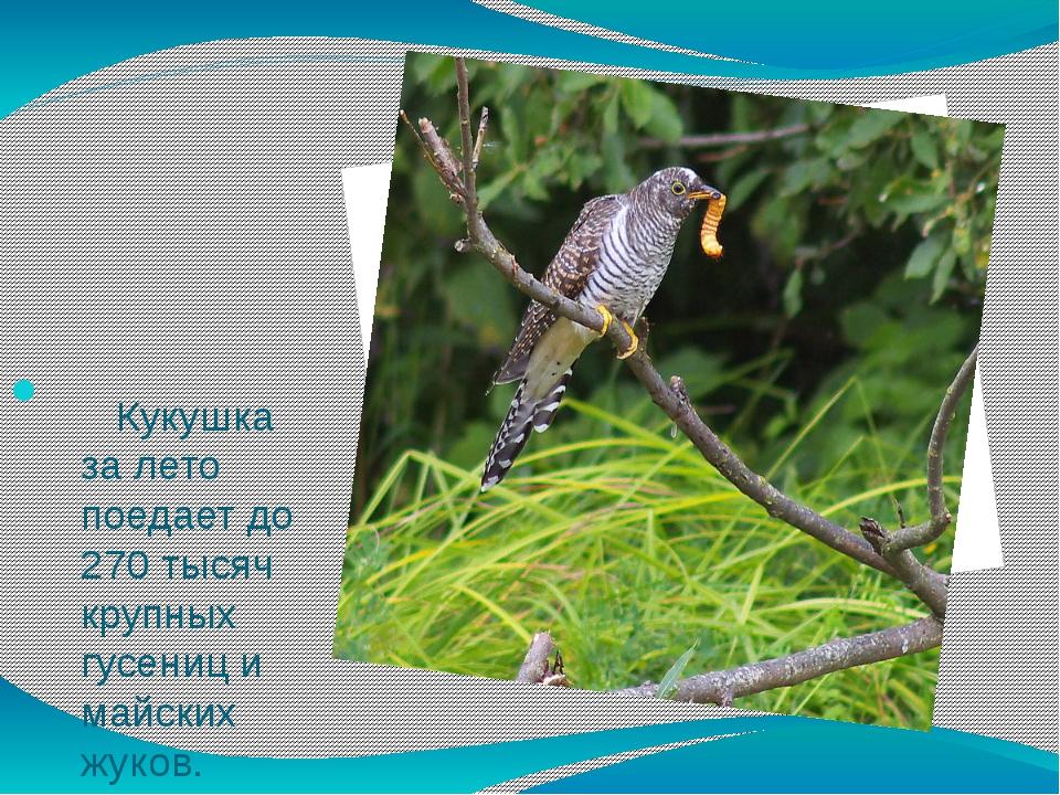 Кукушка за лето поедает до 270 тысяч крупных гусениц и майских жуков.