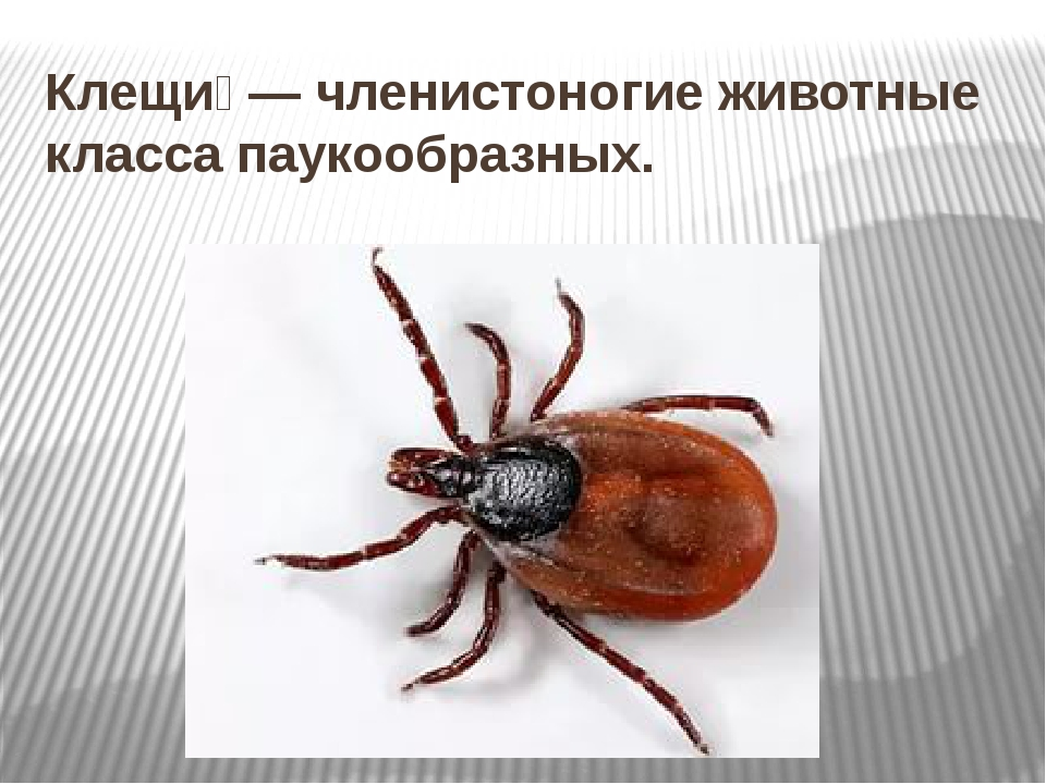 Клещи́— членистоногие животные класса паукообразных.
