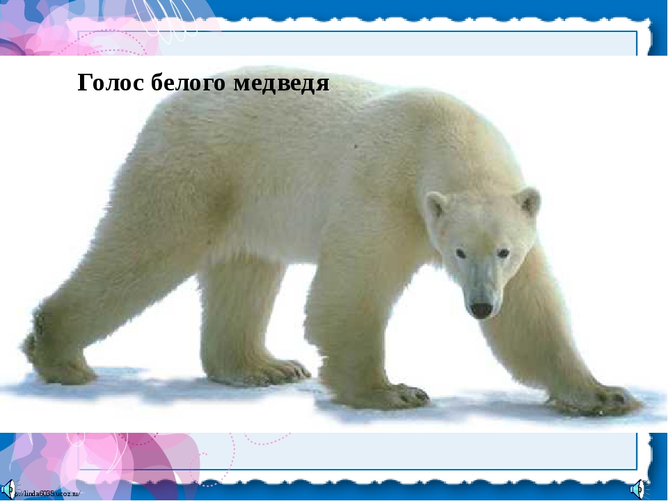 Голос белого медведя http://linda6035.ucoz.ru/