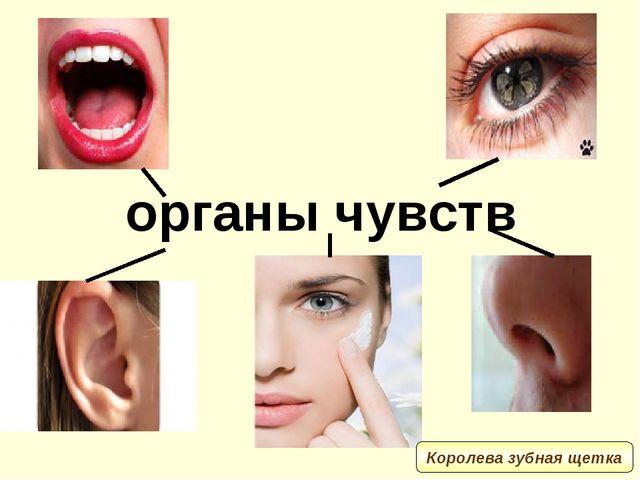 органы чувств Королева зубная щетка