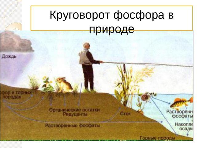 Круговорот фосфора в природе