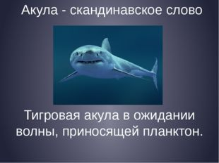 Акула - скандинавское слово Тигровая акула в ожидании волны, приносящей планк