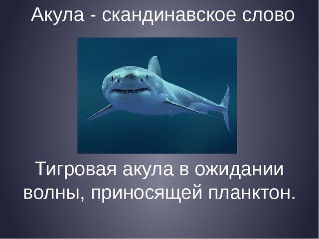 Акула - скандинавское слово Тигровая акула в ожидании волны, приносящей планк...