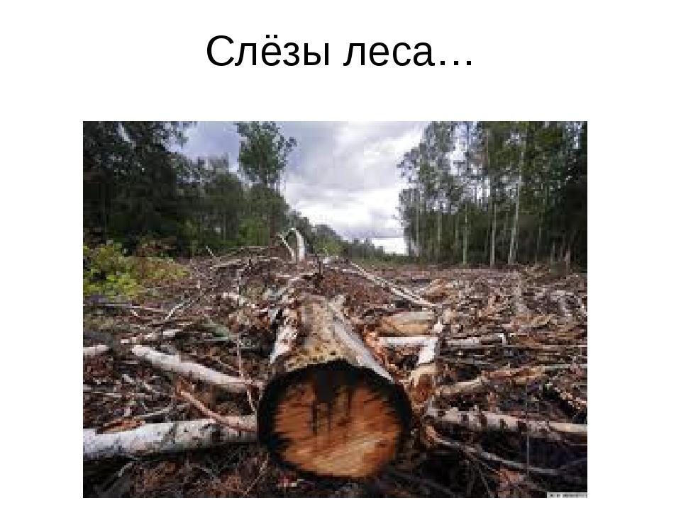 Слёзы леса…