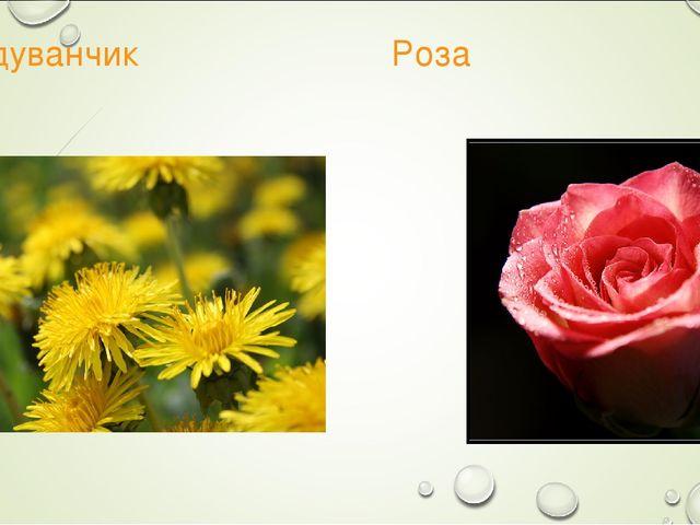 Одуванчик Роза