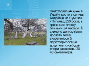 Найстаріша яблуня в Україні росте в селищі Андріївка на Сумщині - їй понад 15