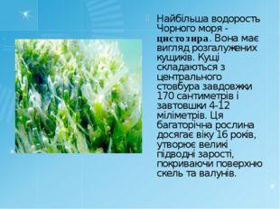 Найбільша водорость Чорного моря - цистозира. Вона має вигляд розгалужених ку