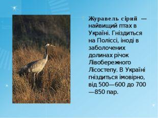 Журавель сірий — найвищий птах в Україні. Гніздиться на Поліссі, іноді в заб