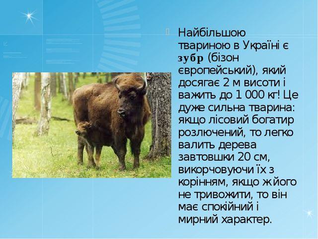 Найбільшою твариною в Україні є зубр (бізон європейський), який досягає 2м в...