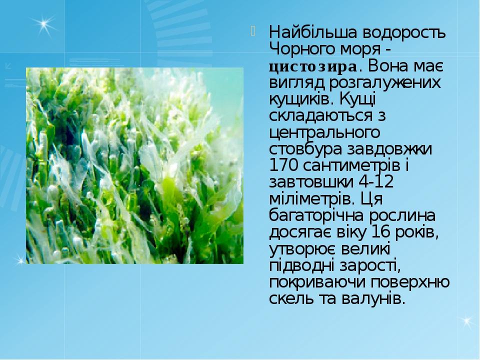 Найбільша водорость Чорного моря - цистозира. Вона має вигляд розгалужених ку...