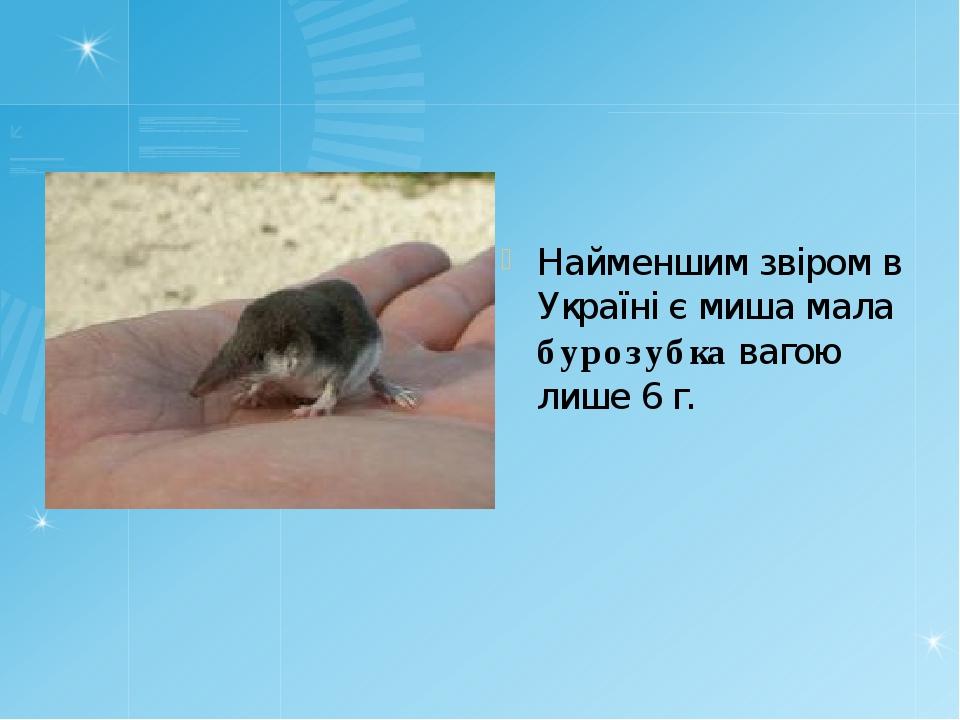 Найменшим звіром в Україні є миша мала бурозубка вагою лише 6 г.