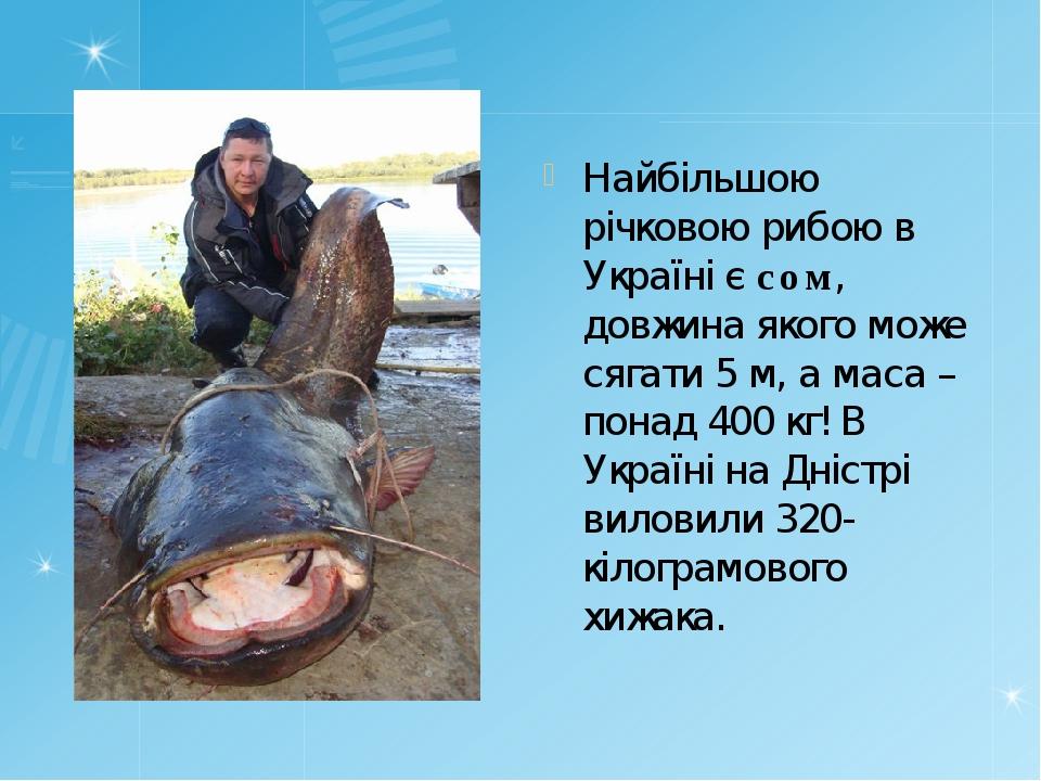 Найбільшою річковою рибою в Україні є сом, довжина якого може сягати 5м, а м...