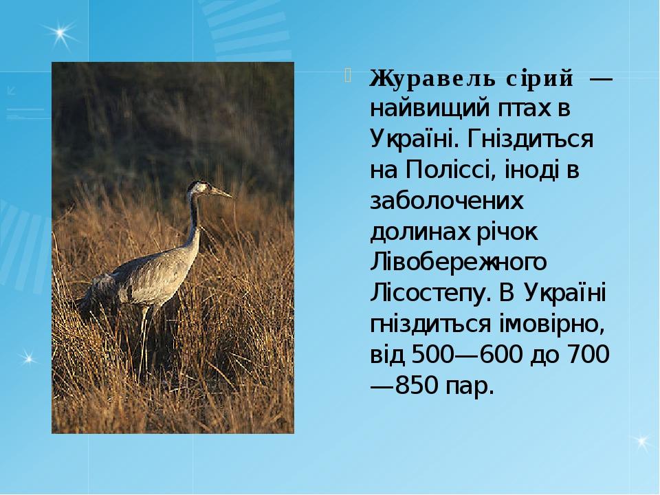 Журавель сірий — найвищий птах в Україні. Гніздиться на Поліссі, іноді в заб...