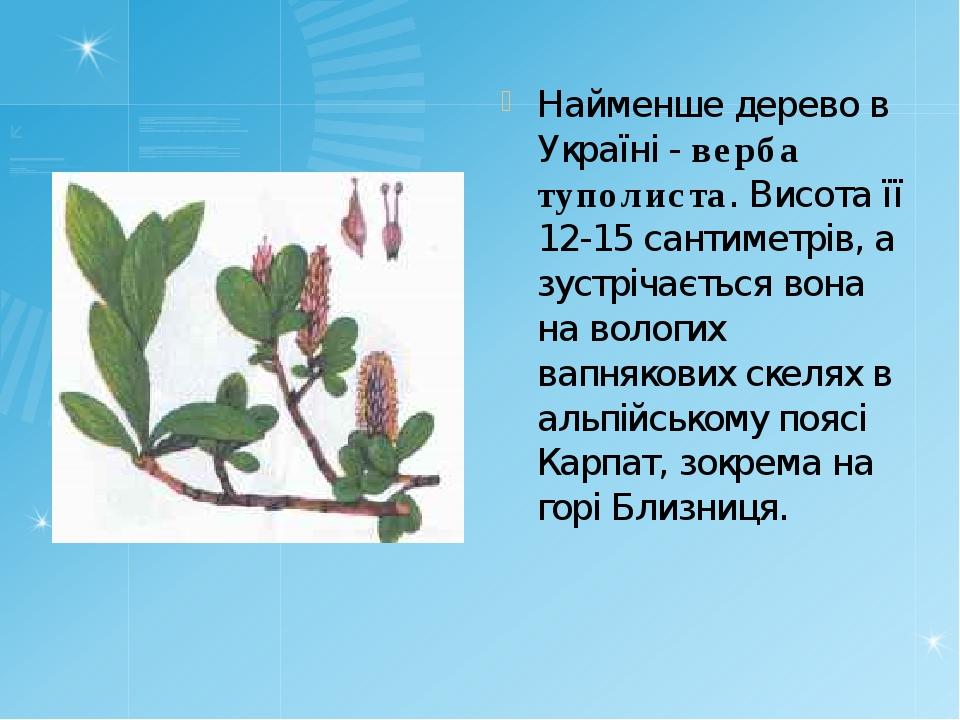 Найменше дерево в Україні - верба туполиста. Висота її 12-15 сантиметрів, а з...