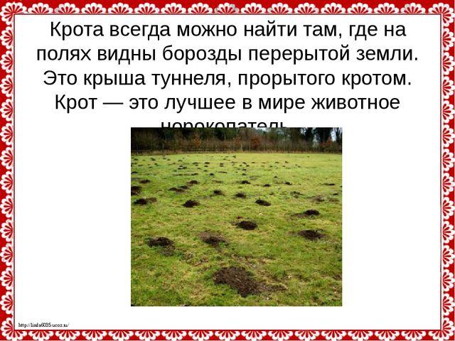 Крота всегда можно найти там, где на полях видны борозды перерытой земли. Это...