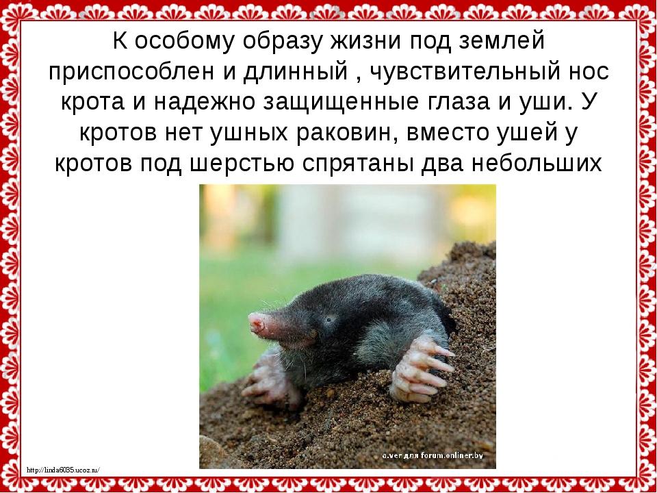 К особому образу жизни под землей приспособлен и длинный , чувствительный нос...