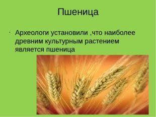 Пшеница Археологи установили ,что наиболее древним культурным растением являе