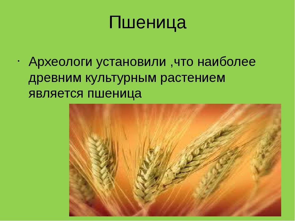Пшеница Археологи установили ,что наиболее древним культурным растением являе...
