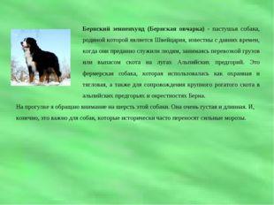 Бернский зенненхунд (Бернская овчарка) - пастушья собака, родиной которой явл