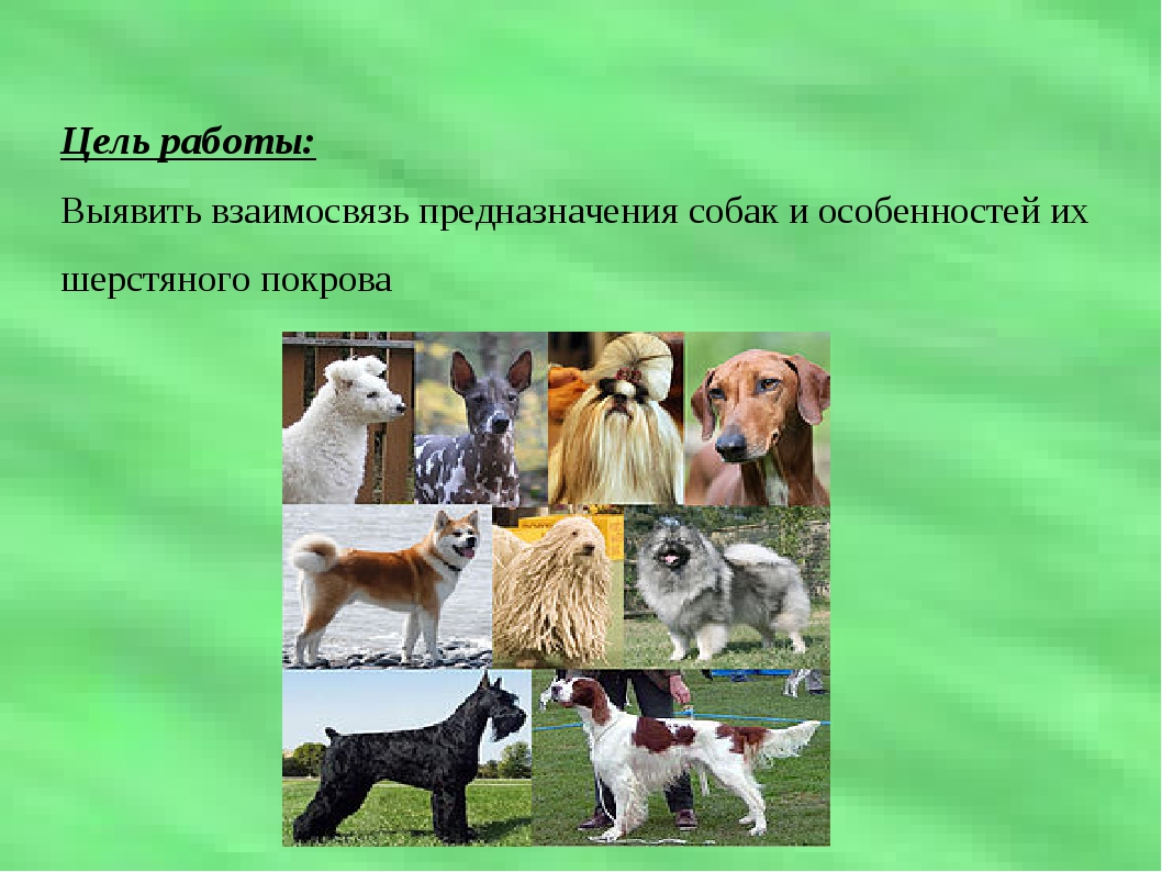 Цель работы: Выявить взаимосвязь предназначения собак и особенностей их шерст...