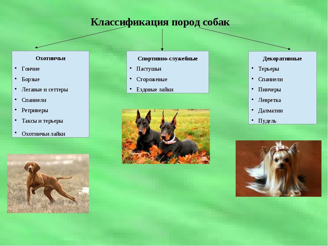 Классификация пород собак Охотничьи Гончие Борзые Легавые и сеттеры Спаниели...