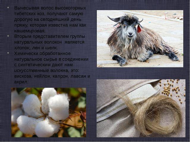 Вычесывая волос высокогорных тибетских коз, получают самую дорогую на сегодня...