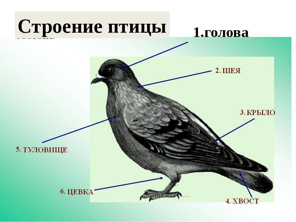 1.голова Строение птицы